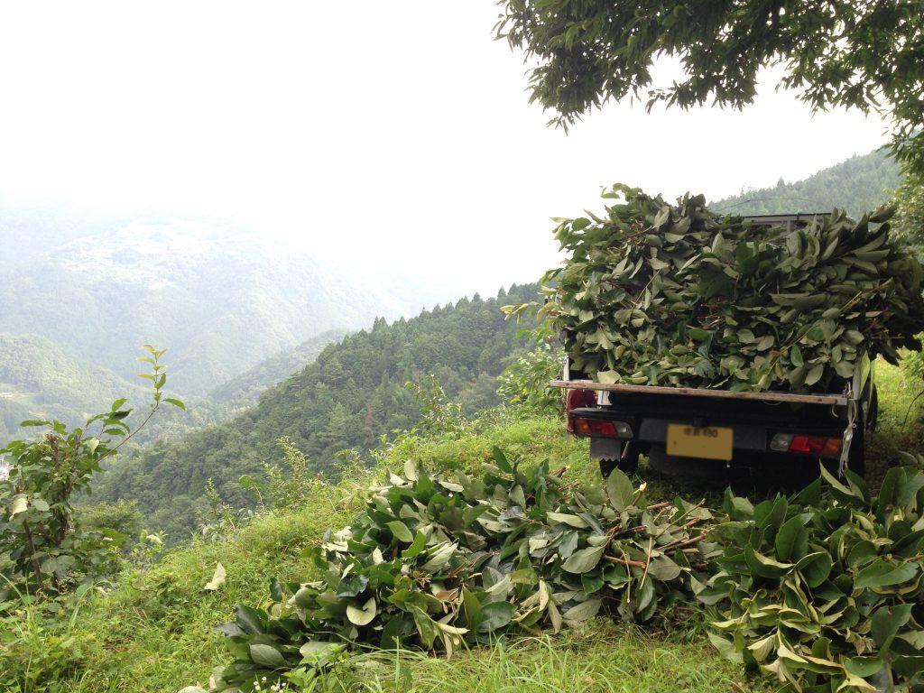柿の葉茶 収穫