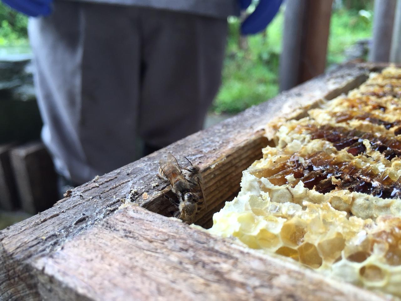 日本みちばち蜂蜜収穫