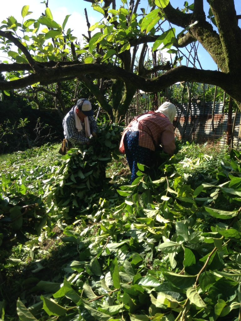柿の葉茶収穫